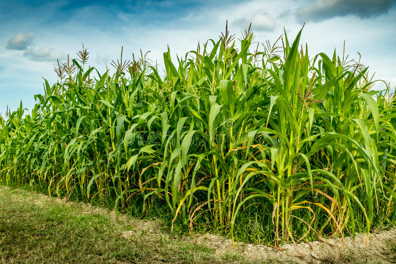 Corn field with sky background. Corn field with white cloud and blue sky background royalty free stock photos