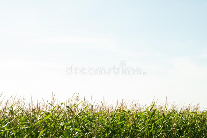 Corn field and the sky in the summer day royalty free stock photo