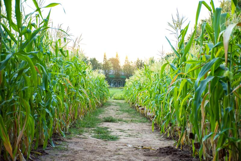 Corn field with soil walk way in middle of the picture stock photo