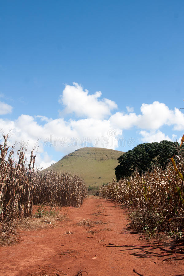 Corn field in South Africa. Traditional crop - corn grown in South Africa stock photos