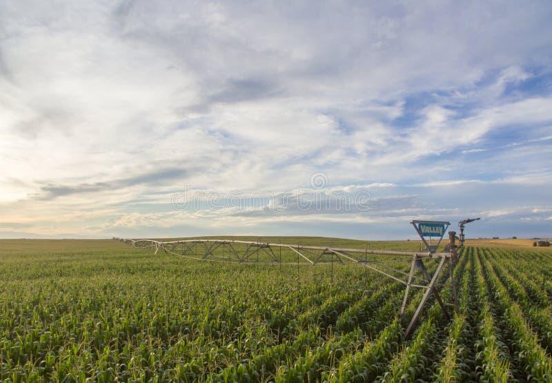 Corn field with sprinkler watering crop stock photo