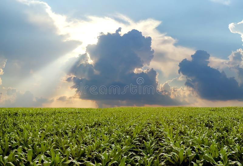 Corn field during stormy day royalty free stock photo
