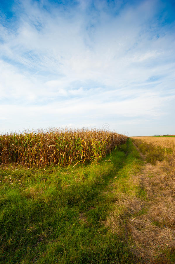 Corn field in summer. Corn field in the late summer west of Belgrade, capitol of Serbia stock photography