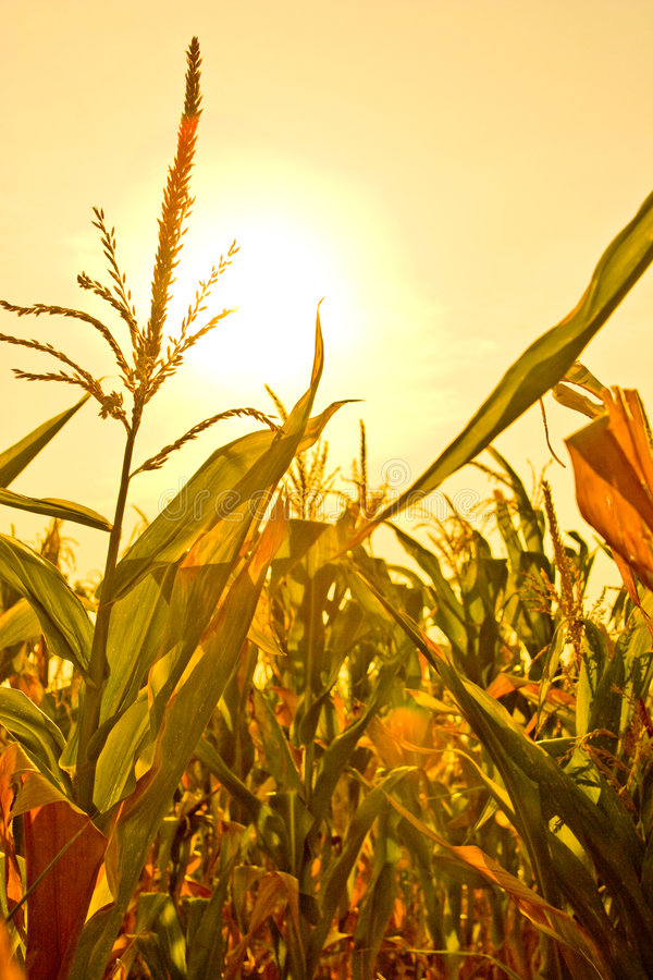 Corn field with sun stock image