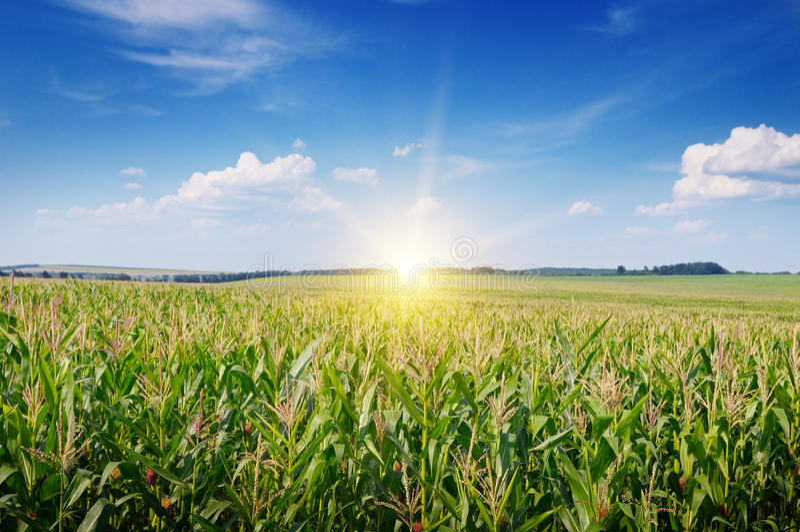 Corn field. Sunrise over the corn field royalty free stock image