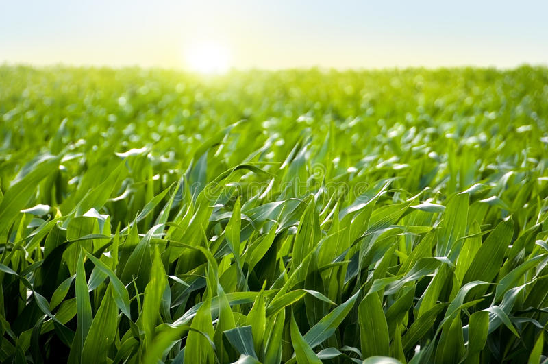 Corn field in sunset - maize field royalty free stock photos