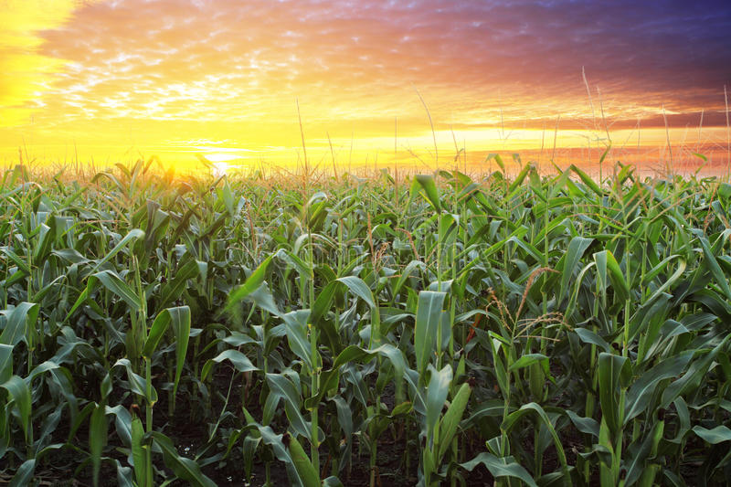 Corn field at sunset royalty free stock image