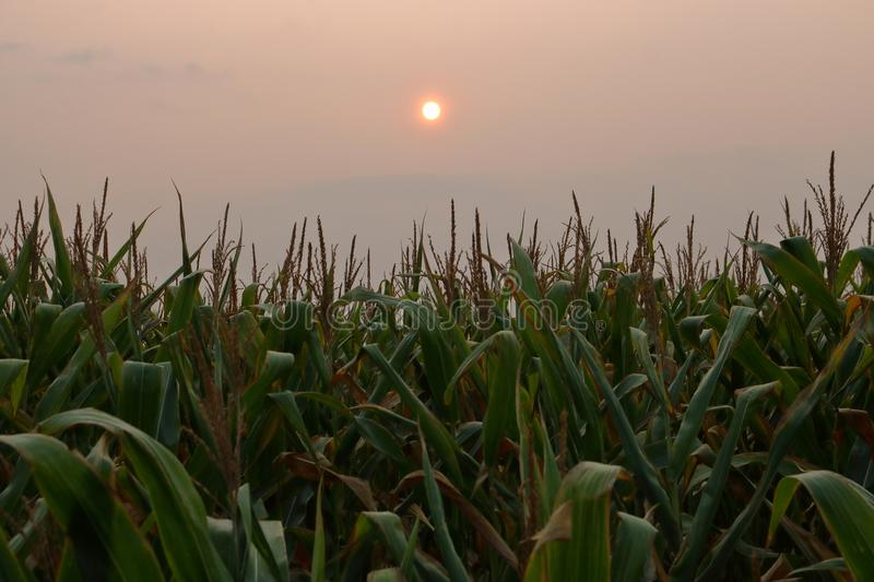 Corn Field and Thick Forest Fire Smoke royalty free stock images