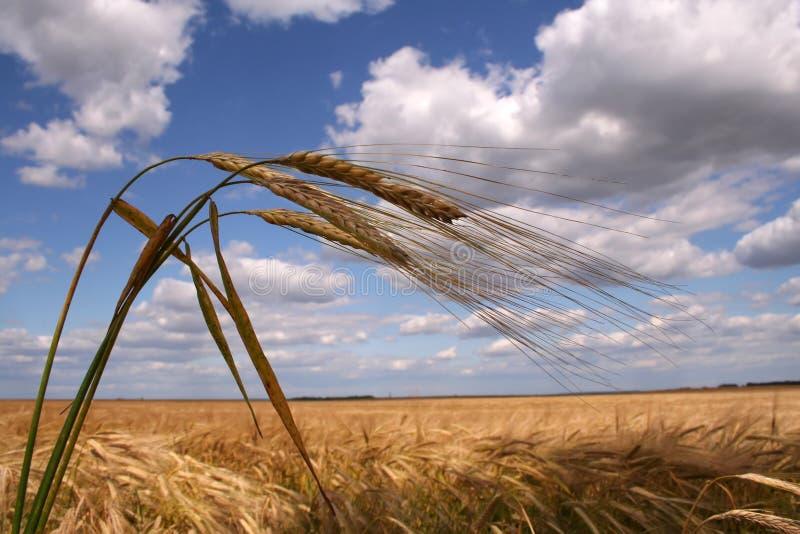 Corn field with three ears royalty free stock photos