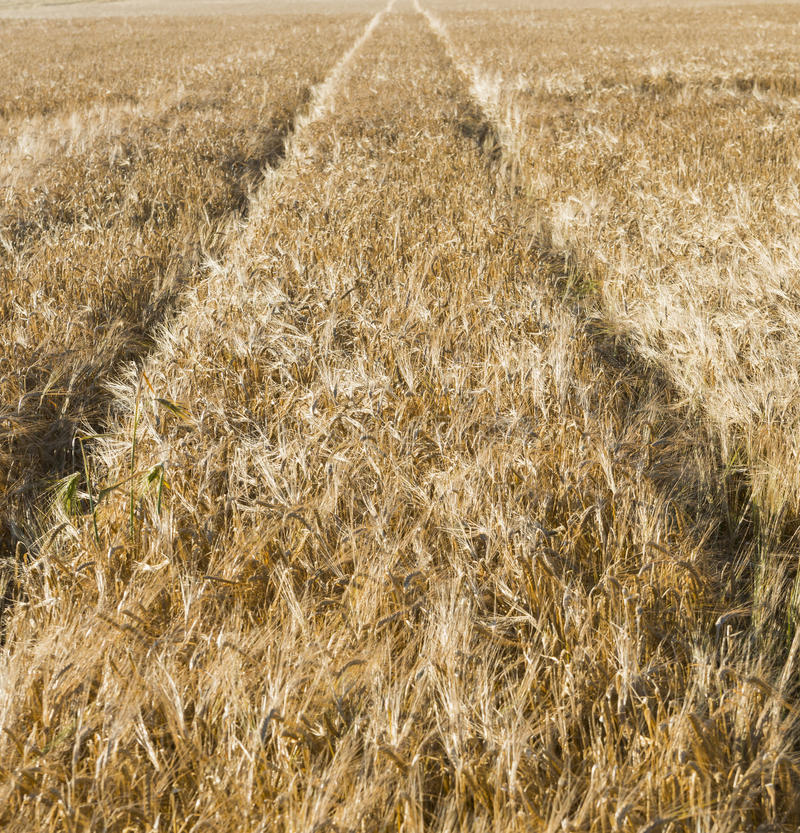 Corn field with track of tractor stock photos