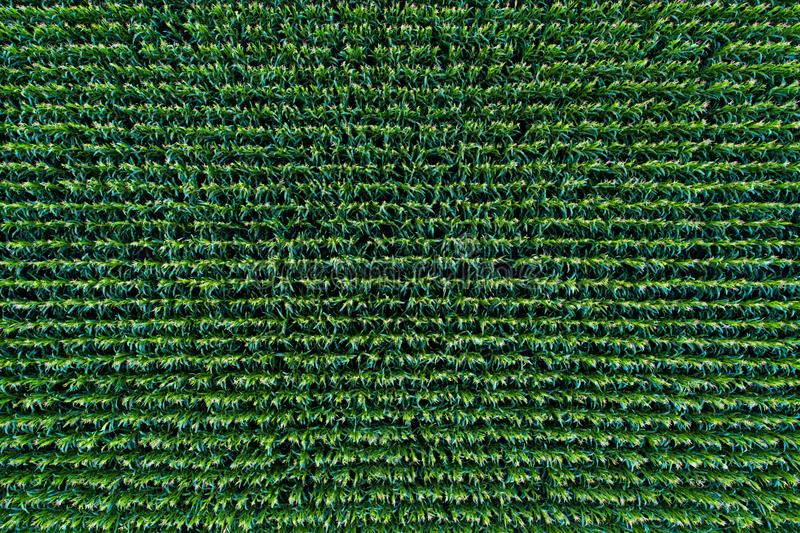 Corn field view from above stock photography