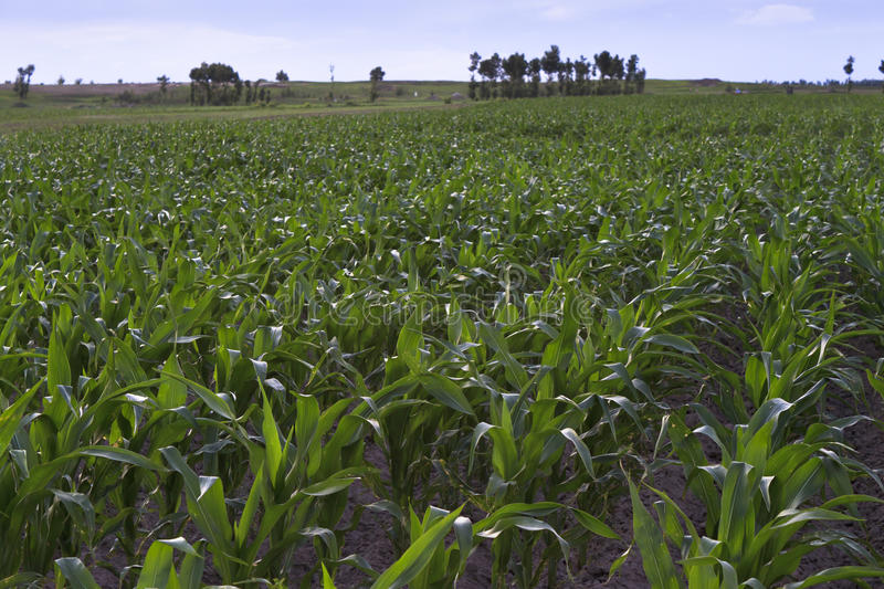Download Corn fields stock photo. Image of leaves, green, grow - 23548944