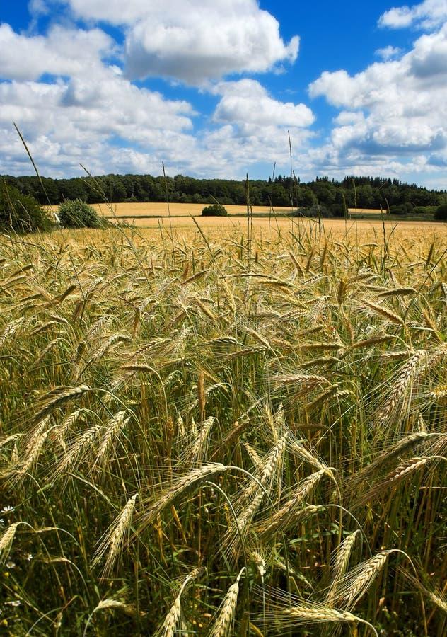 Corn fields early summer. In Denmark stock photography