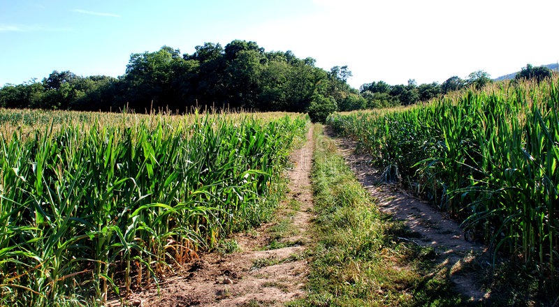 Corn fields with road stock photo