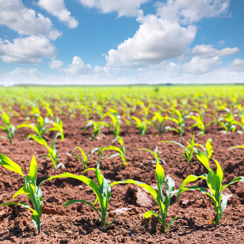 Corn fields sprouts in rows in California agriculture stock photo