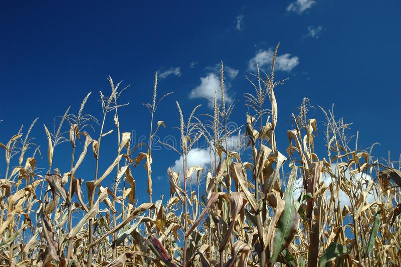 Corn flield with blue sky royalty free stock image