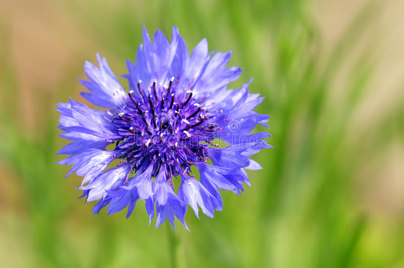 Corn flower. Beautiful colored corn flower with green background royalty free stock images