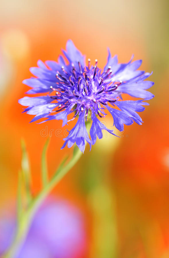 Corn flower. Beautiful colored corn flower with orange background stock images