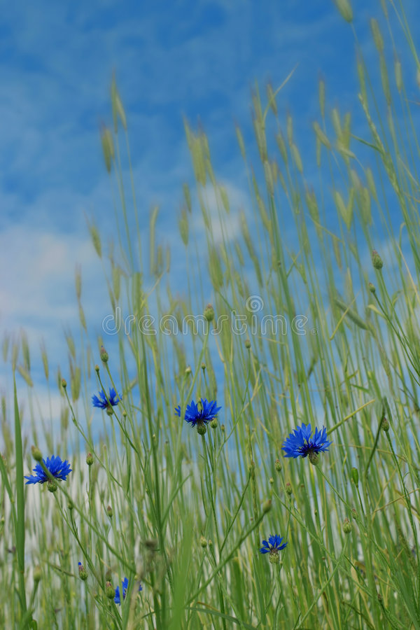Corn-flowers photo stock