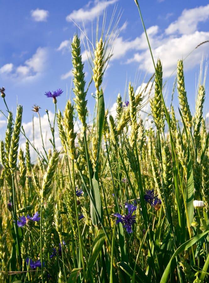 Corn-flowers foto de stock