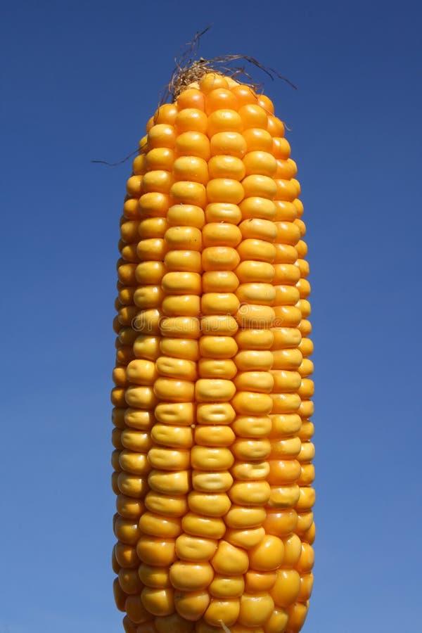 Corn: Food or Bio-Fuel royalty free stock photos