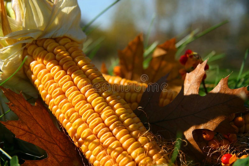 Corn in the grass. Among the leaves royalty free stock photo