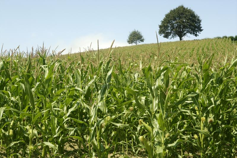 Download Corn Green Fields Landscape Outdoors Stock Photo - Image: 11964946