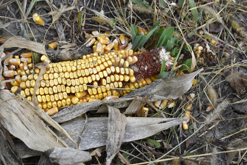 Corn on the ground. Corn isolated on the ground stock image