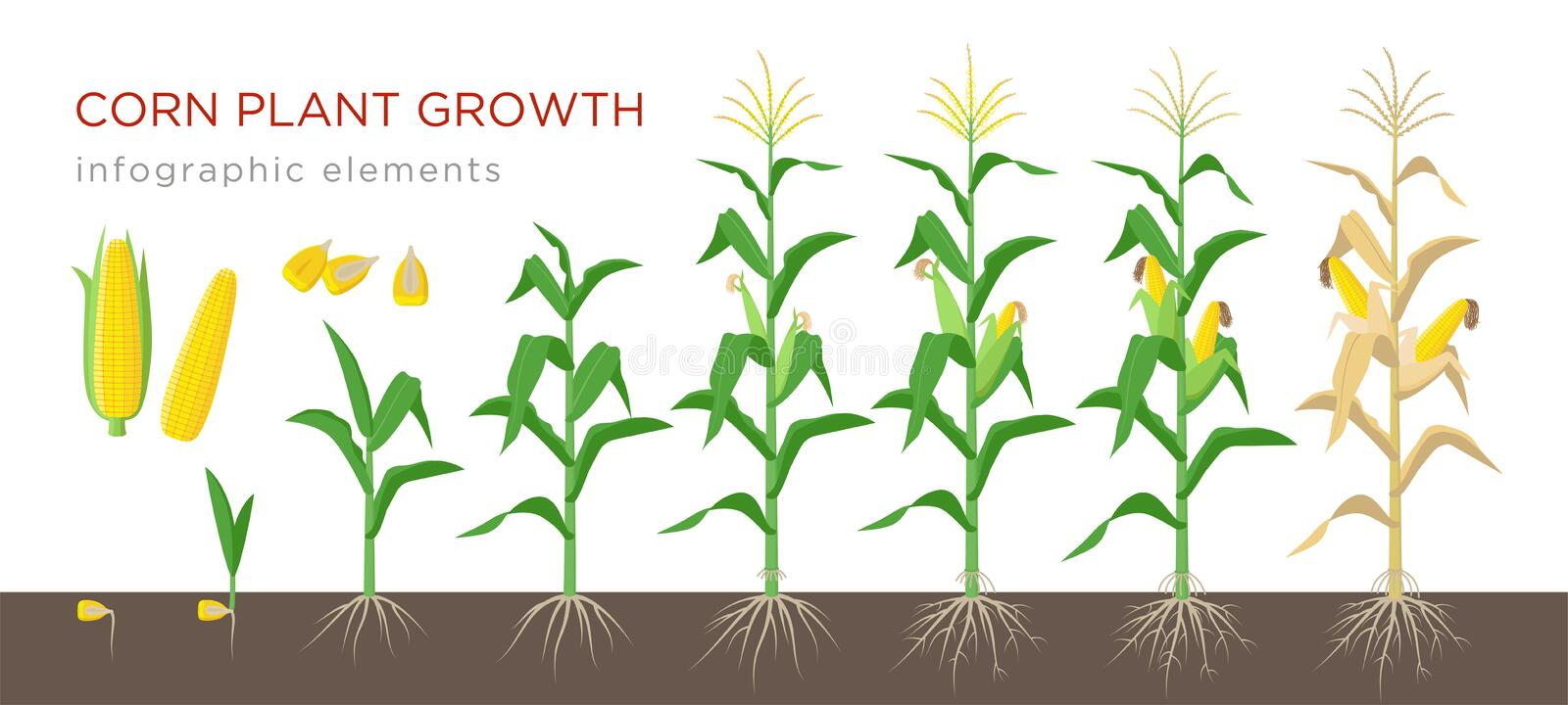 Corn growing stages vector illustration in flat design. Planting process of corn plant. Maize growth from grain to royalty free illustration