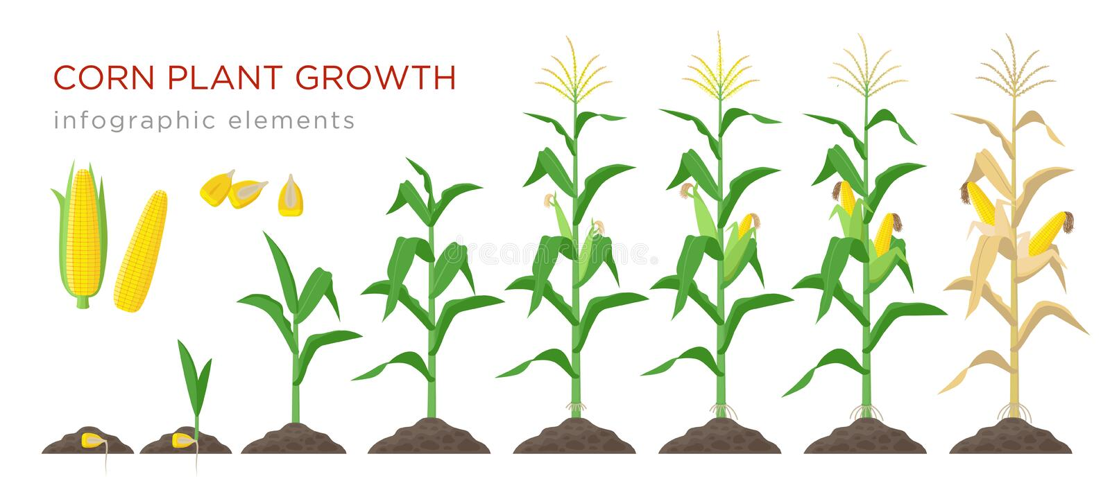 Corn growing stages vector illustration in flat design. Planting process of corn plant. Maize growth from grain to vector illustration