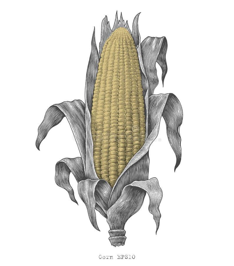 Corn hand drawing vintage engraving illustration. Isolated on white background royalty free illustration