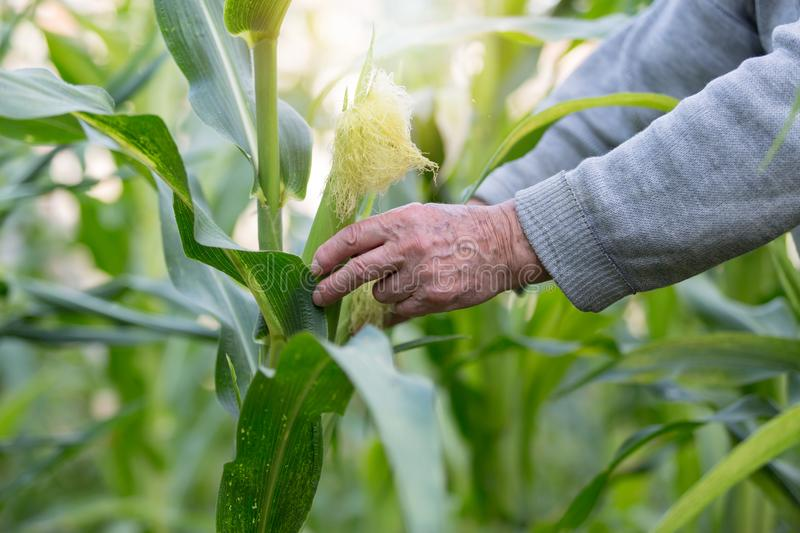 Corn in hand. Hand of elderly farmer who planted and cared for corn on his own corn plantation. Concept of manual labor and home stock photos