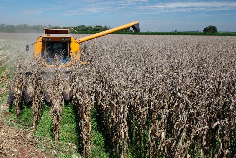 Corn harvest. On farmland in brazil royalty free stock photos