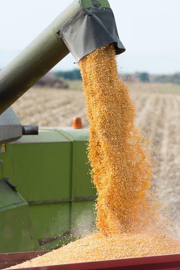 Free Corn Harvest Stock Images - 34451864