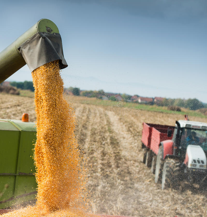Free Corn Harvest Royalty Free Stock Images - 36043719
