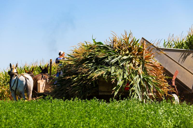 Corn Harvest by Amish royalty free stock photos