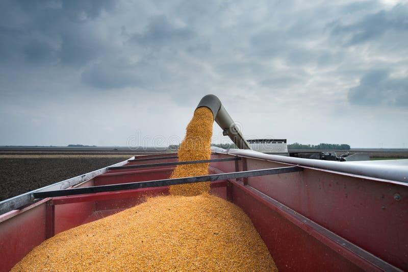 Corn harvest stock image