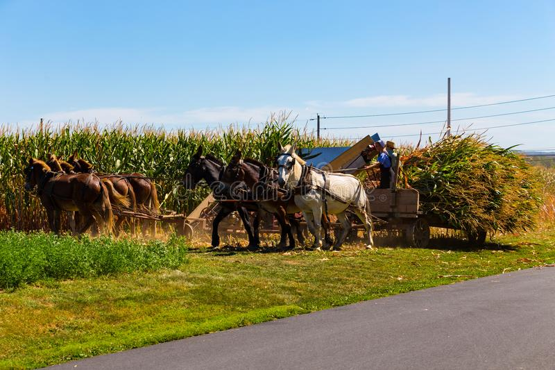 Corn Harvesting by the Amish Farmers stock images