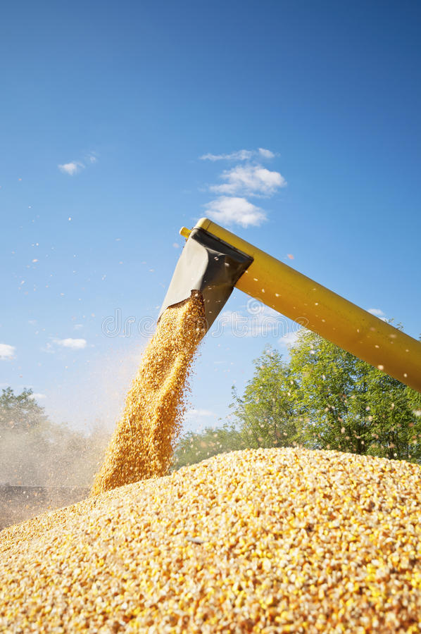 Corn harvesting loading royalty free stock images