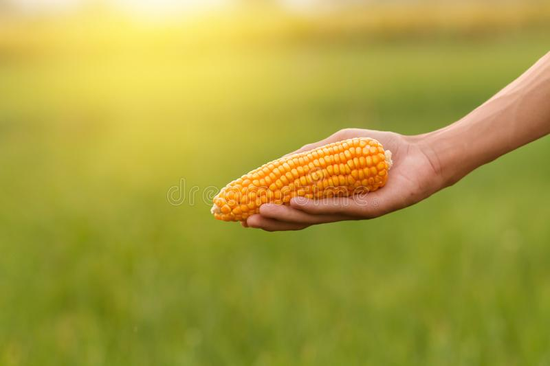 Corn holded on farmer hand with green farm field and sunlight background stock photography