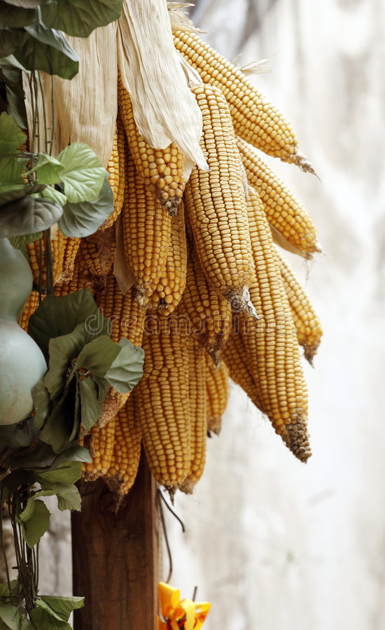 Corn hung on the pole. The peasants of China like hanging crops reaped up, they are the symbol had a bumper harvest and satisfied stock photography