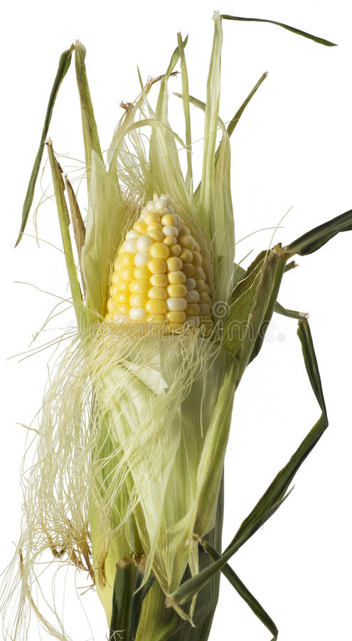 Free Corn Husk Partially Peeled Stock Photography - 61377392