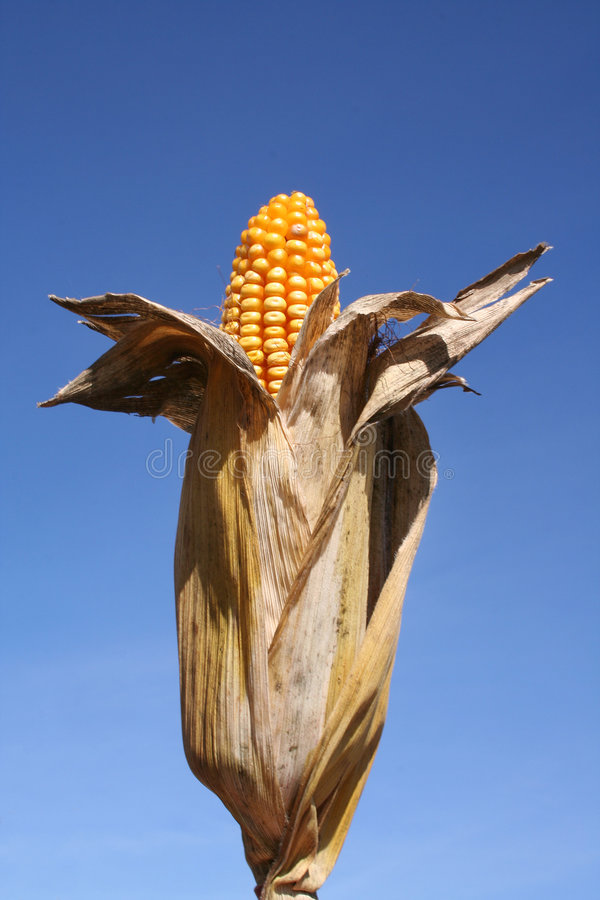 Free Corn In Husk / Bio-Fuel Stock Photos - 1380113