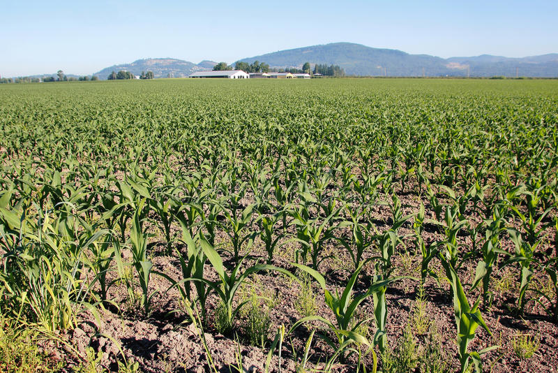 Corn Landscape stock photography