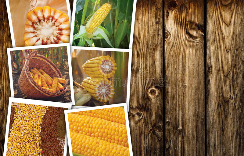 Corn maize in agriculture, photo collage royalty free stock photos