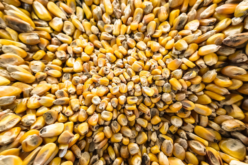 Corn. Maize, also known as corn, is a large grain plant first domesticated by indigenous peoples in Mexico about 10,000 years ago. The six major types of corn stock photo