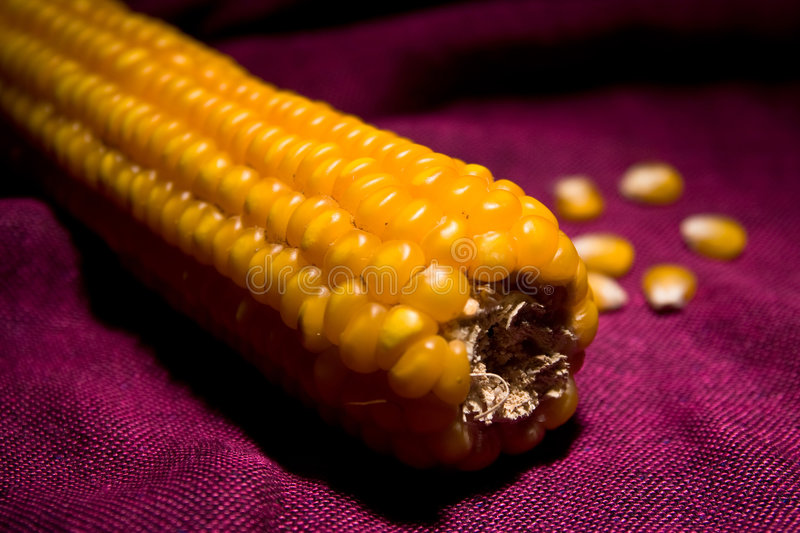 Download Corn maize cob stock image. Image of field, vegetarian - 4120525