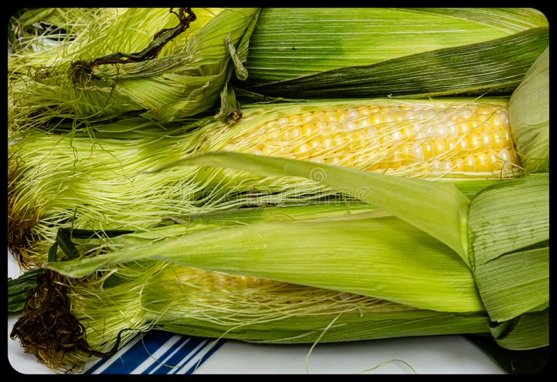 Corn maize on the cob stock image