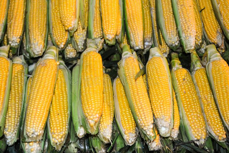 Corn or Maize for processing into yellow fodder stock images