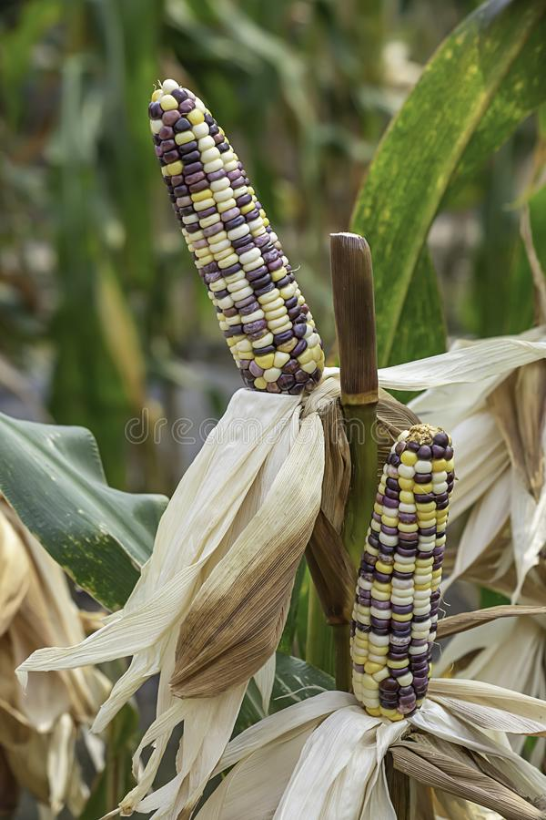 Corn with many colors in a pod on the tree at the farm show.  royalty free stock image